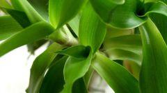 Лечение золотым усом: полезные свойства растения