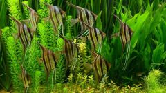 Размножение скалярий в общем аквариуме