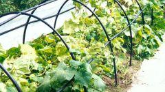 Выращивание огурцов на биообогреве