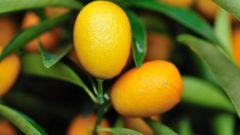 Как выращивать цитрусовые