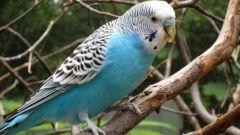 Как выбрать корм для волнистого попугая