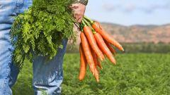 Как сажать морковь в 2017 году