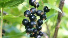 Что приготовить из черной смородины