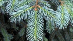 How to trim a spruce tree