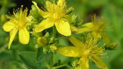 How to brew and drink St. John's wort
