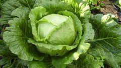 Как выращивать капусту в средней полосе