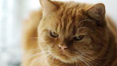 Как выбрать корм для кастрированных котов