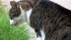 What to do if cat vomits