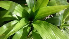 Почему у драцены желтеют и сохнут листья