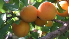 Абрикос – посадка черенка и уход за плодовым деревом