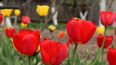 Посадка тюльпанов весной: что нужно учитывать