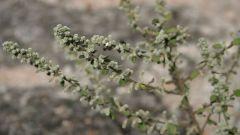 Эрва шерстистая - уникальное садовое растение