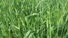 When to sow winter rye