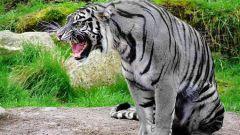 Мальтийский голубой тигр – миф или реальность