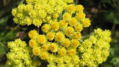 Лекарственная трава бессмертник: лечебные свойства