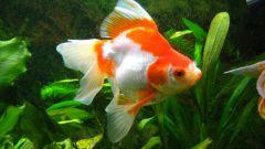 Как вылечить золотых рыбок Риукинов
