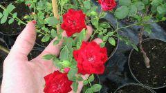 Комнатная роза: уход, полив, лечение и размножение