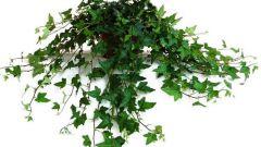 Как ухаживать за вьющимися комнатными растениями