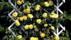 Как укрыть плетистую розу