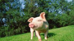 Как организовать свиноферму