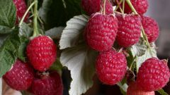 How to care for everbearing raspberries
