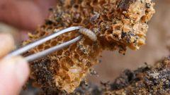 Как принимать пчелиную огневку