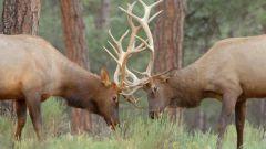 Почему олень сбрасывает рога