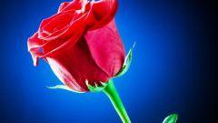 К каким растениям относится роза