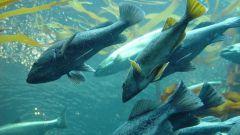 К каким рыбам относится семга