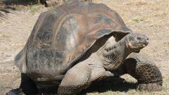 Какого размера могут быть черепахи