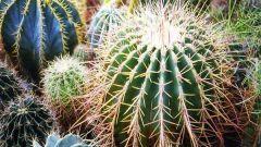Какую функцию выполняют колючки кактуса