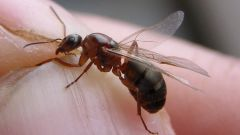How to get rid of winged ants