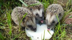 Why do hedgehogs like milk