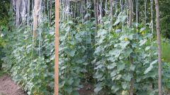 What are the features of growing cucumbers in the open ground
