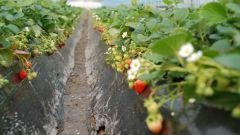 Земляника садовая – выращивание и уход