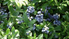 Садовая черника: посадка и уход