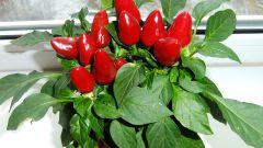 Как выращивать декоративные перцы
