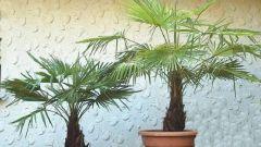 Как ухаживать за китайской веерной пальмой