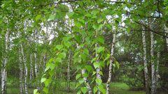 Листья березы: полезные свойства и применение