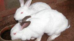 Кролик калифорнийский как лучший вариант для разведения