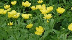 Flower night blindness: medicinal properties and the harm