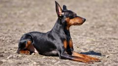 Dwarf Dobermans: the breed characteristics, care
