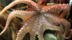 Можно ли есть живого осьминога