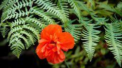 Как выглядят цветы папоротника