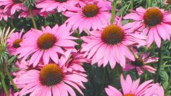 At what age can give your child Echinacea