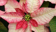 Цветок молочай - красивое растение с ядовитым соком