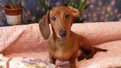 Крипторхизм у собак: причины и лечение