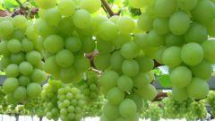 Как защитить виноград от ос: самые эффективные методы