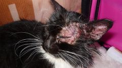 Как лечить грибок на коже у кошки