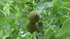 How to prepare a tincture of Manchurian walnut